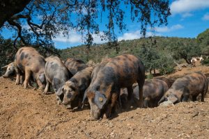"""Manchado"" Pigs on the Pasture"