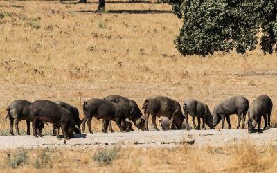 Fresh Iberian meat: where it comes from and how many cuts there are
