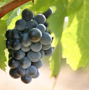Grapes harvesting wine